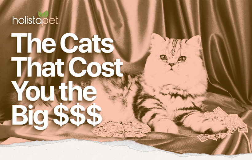one of the most expensive cat breeds laying on a velvet curtain with a pile of cash