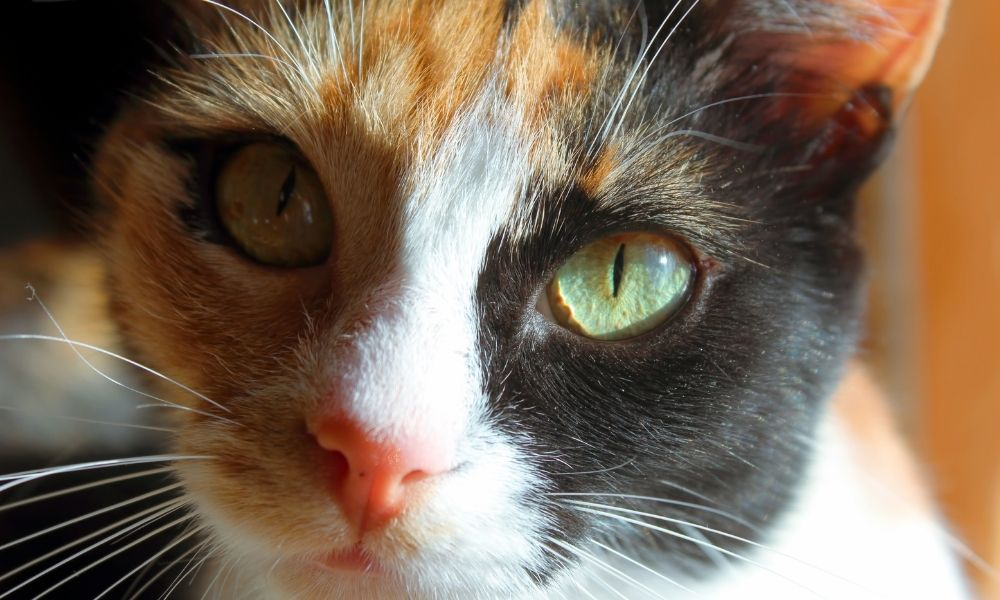 the face of an aegean cat, a natural cat breed