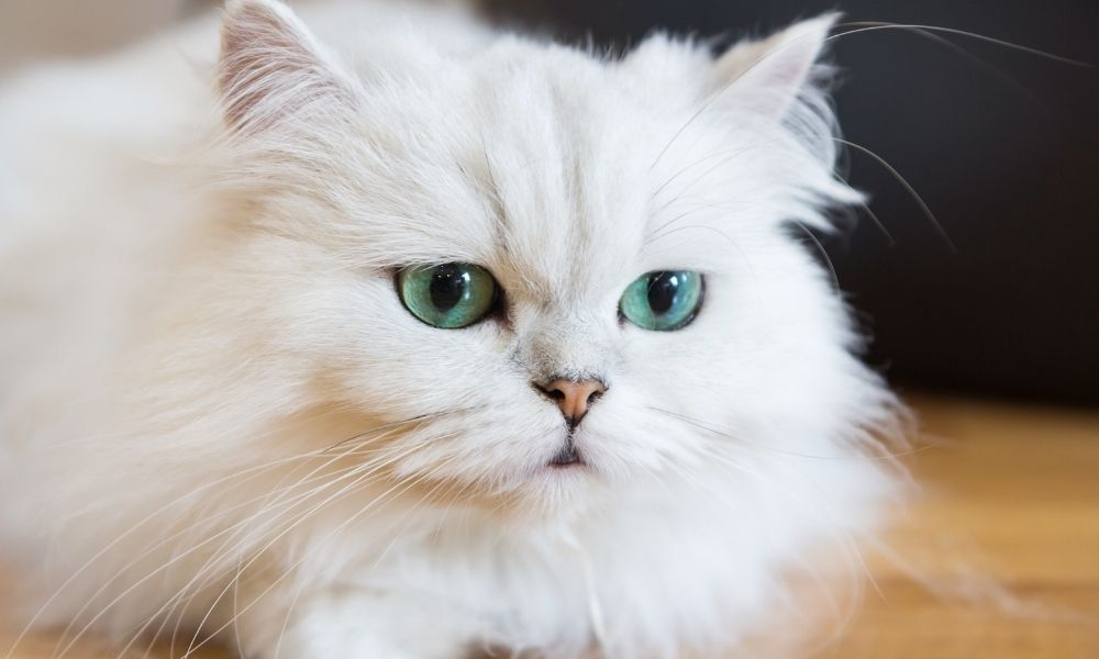 a white persian cat with blue eyes