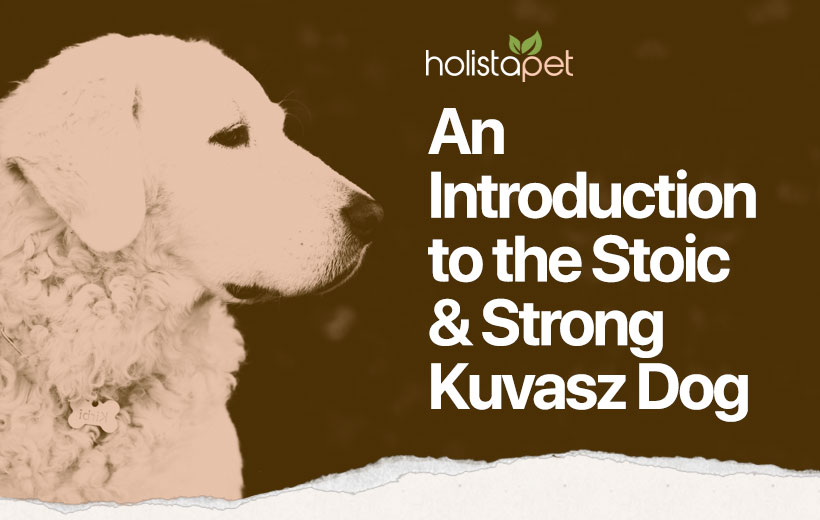 """the head of a large white dog with text """"an introduction to the stoic & strong kuvasz dog"""""""