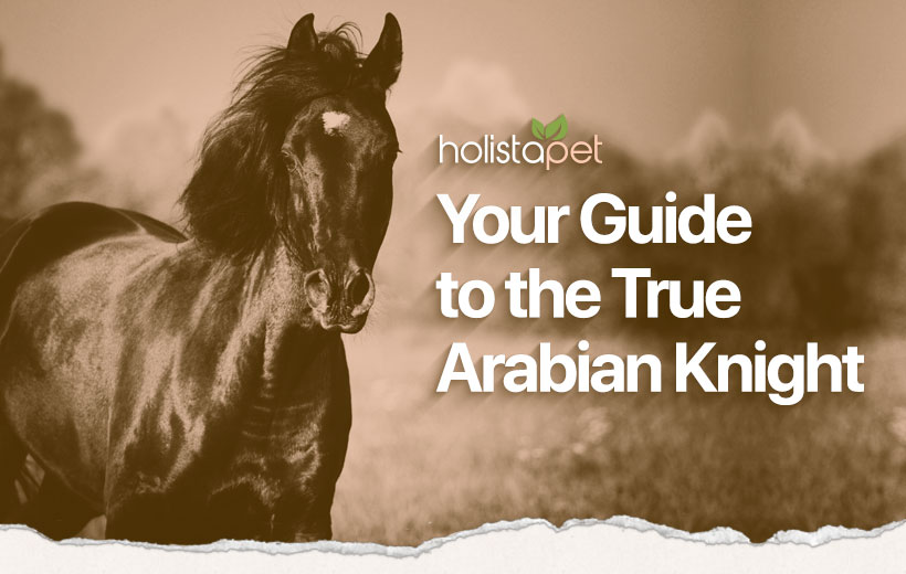 "a handsome black horse with text ""your guide to the true arabian knight"""