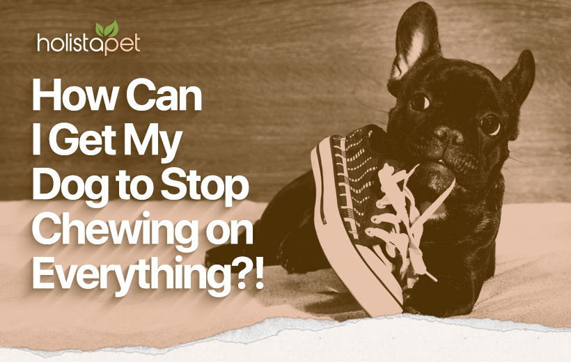 "a black boston terrier chewing on a sneaker with text ""how can I get my dog to stop chewing on everything?!"""